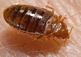 Bed bugs are a growing problem in New Jersey.