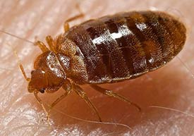Closeup image of a bed bug.