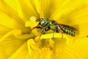 Image of a halictid bee or sweat bee.