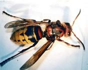 Image of a hornet.