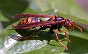 Image of a NJ paper wasp.