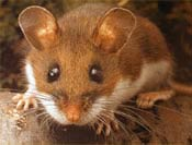 Image of a white-footed mouse.